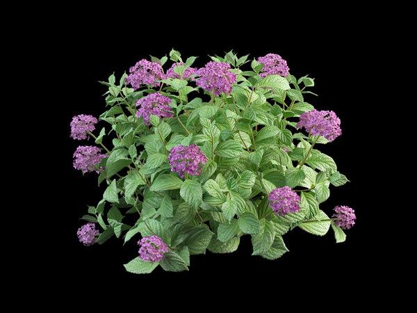 bush hortensia flowering 50 3d model