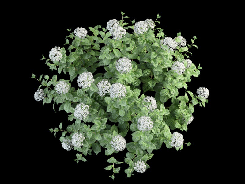 3ds max bush hortensia flowering 70