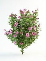 Hibiscus syriacus  120