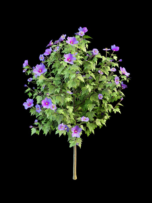 3d model flowering hibiscus 150