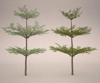Bucida Tree