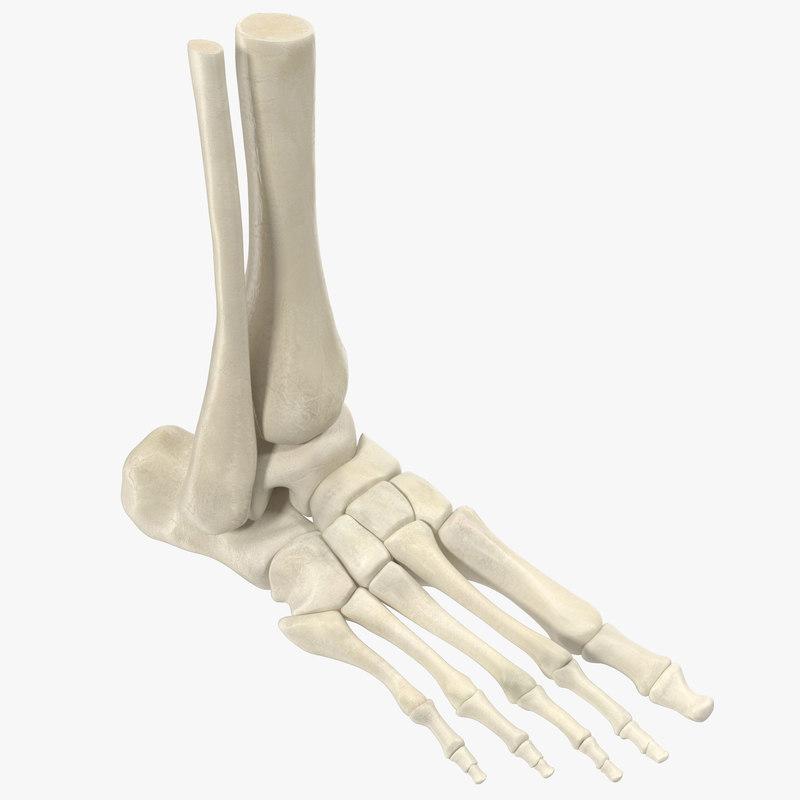 max human skeleton foot