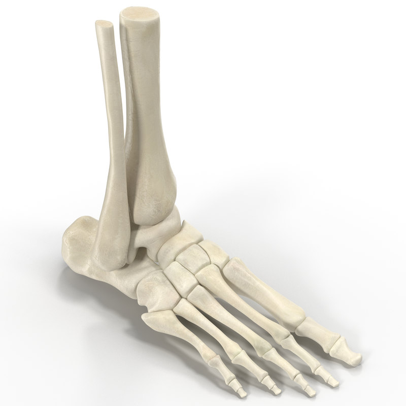 max human skeleton foot