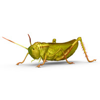 grasshoppers insects crickets 3d obj