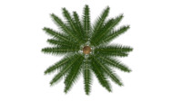 gymnosperms plants conifers 3d model