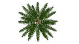 gymnosperms plants conifers 3d model