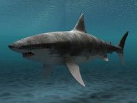 max great white shark