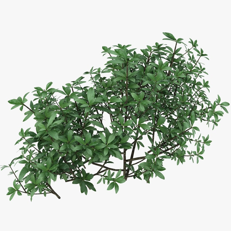 3d model small bush shrub