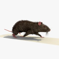 3d brown mouse rat walking model