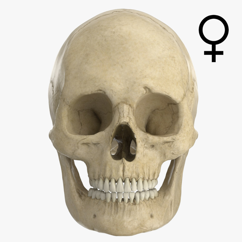 Adult Human Skull - European Female | Evolution Store  |Female Human Skull