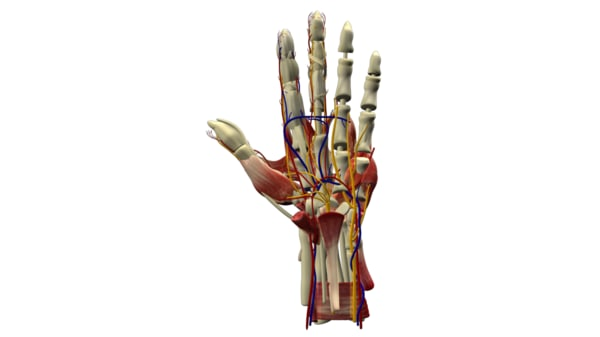 3d hand arm model