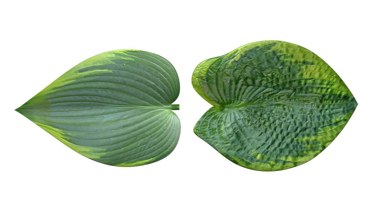 abscission scindere leaf obj