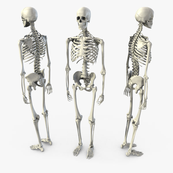 human skeleton 3d models for download | turbosquid, Skeleton