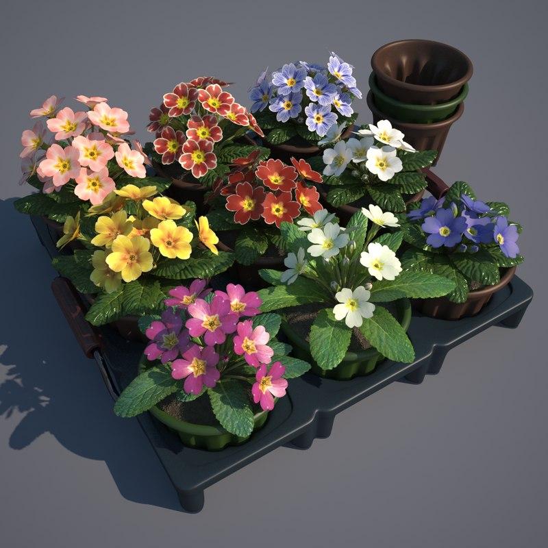 max common primrose plants pots