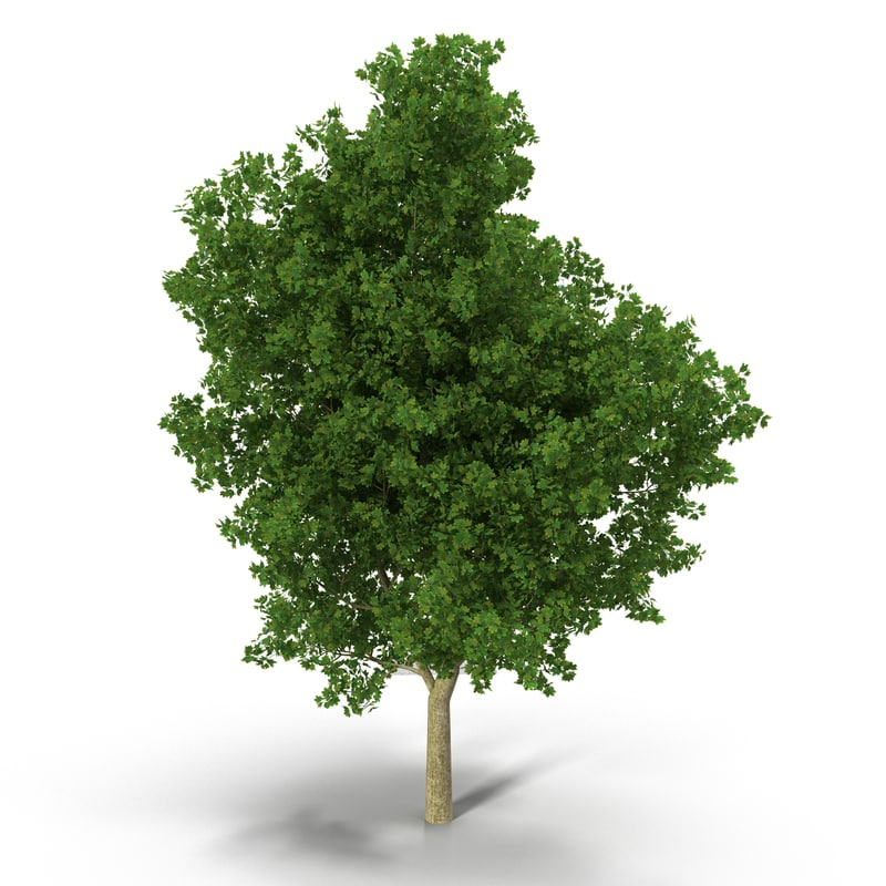 broadleaf maple 3d model