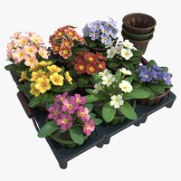 Common Primroses in Pots and Crate