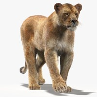 3d lioness fur cat animation model