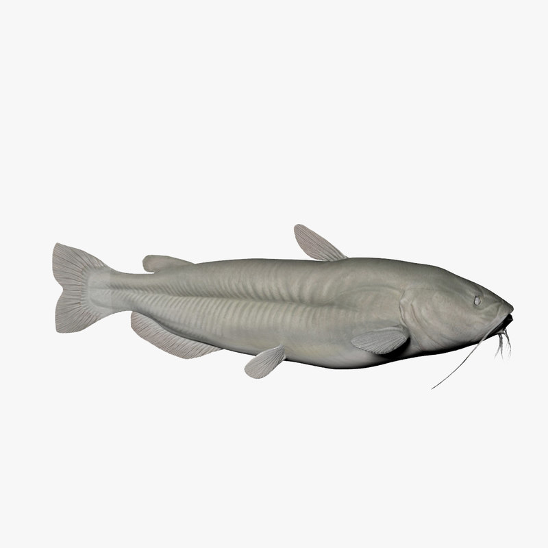 channel catfish fish 3d model