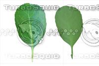Leaf set 001