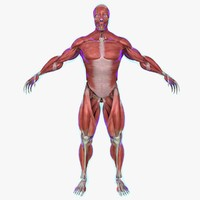 muscle anatomy medical edition 3d ma
