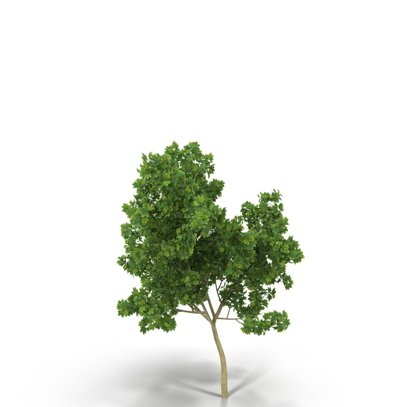 3d broadleaf maple young grean