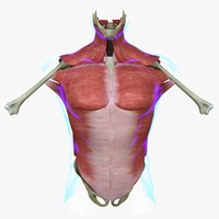 muscles torso medical edition 3d ma