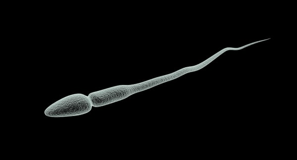 spermatozoon rigged 3d model