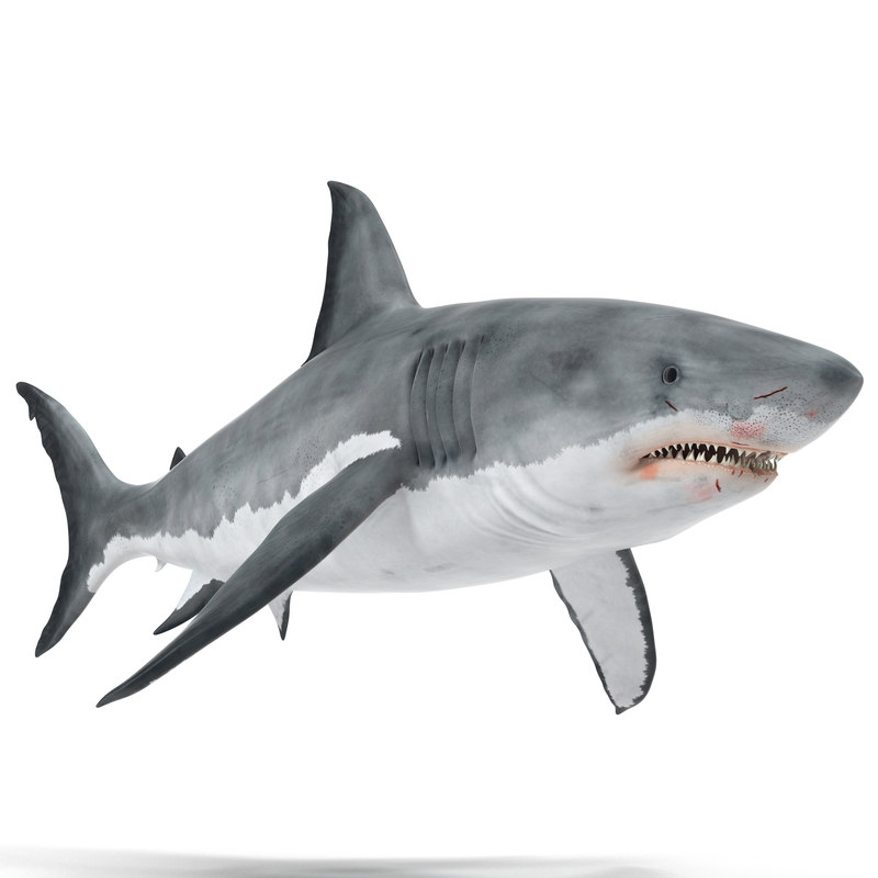 great white shark max