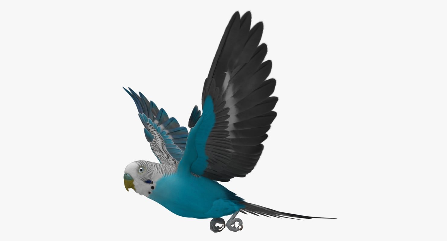 maya melopsittacus undulatus budgerigar blue