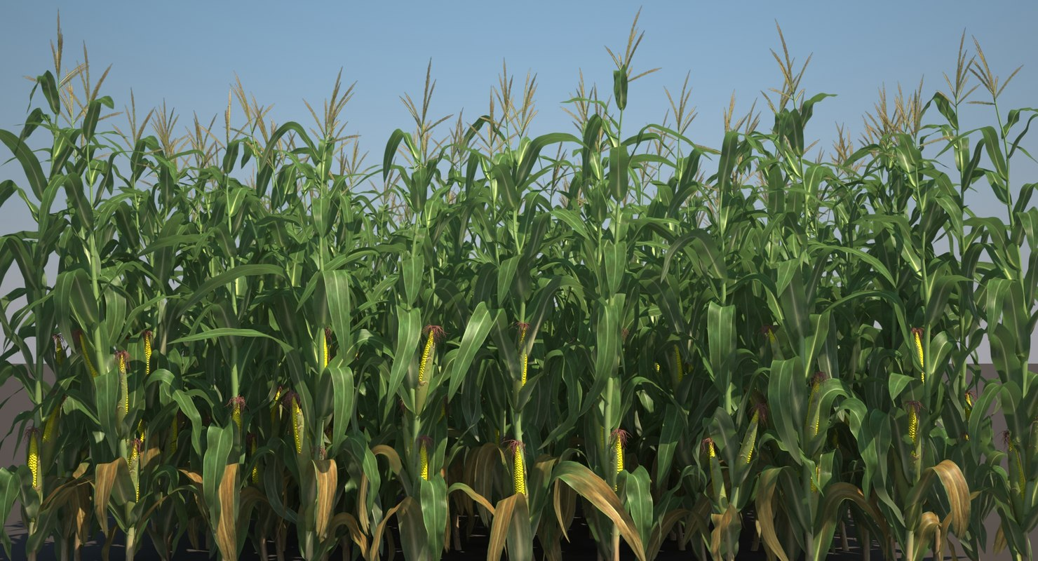 corn field stalks 3d model