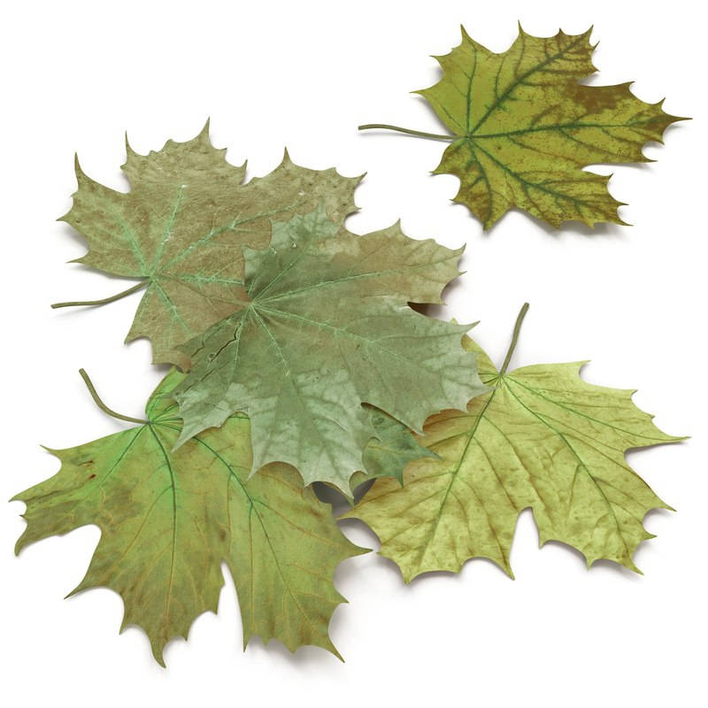 green maple leaves 3d model