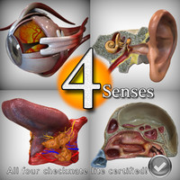 3d model anatomy senses head ear