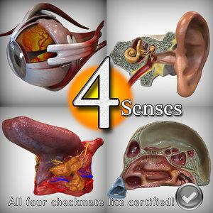 3d model anatomy senses head ear