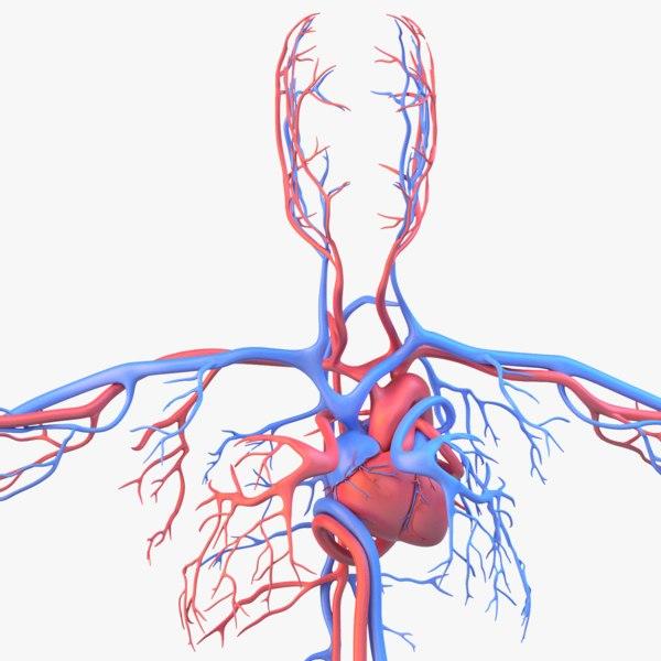 human anatomy circulatory x