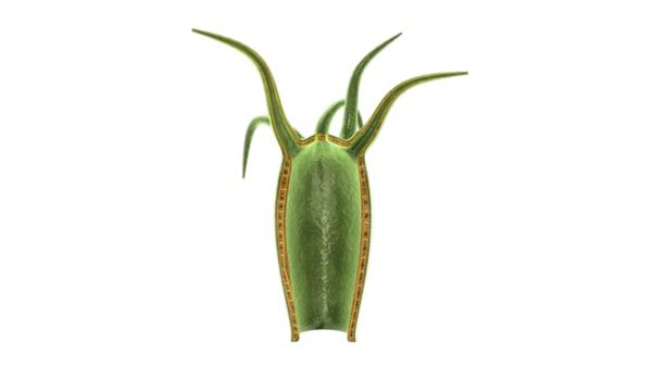 3d model cnideria phylum species
