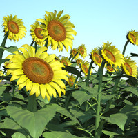 helianthus field common sunflower 3d max