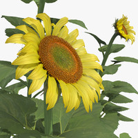 Common Sunflower Set