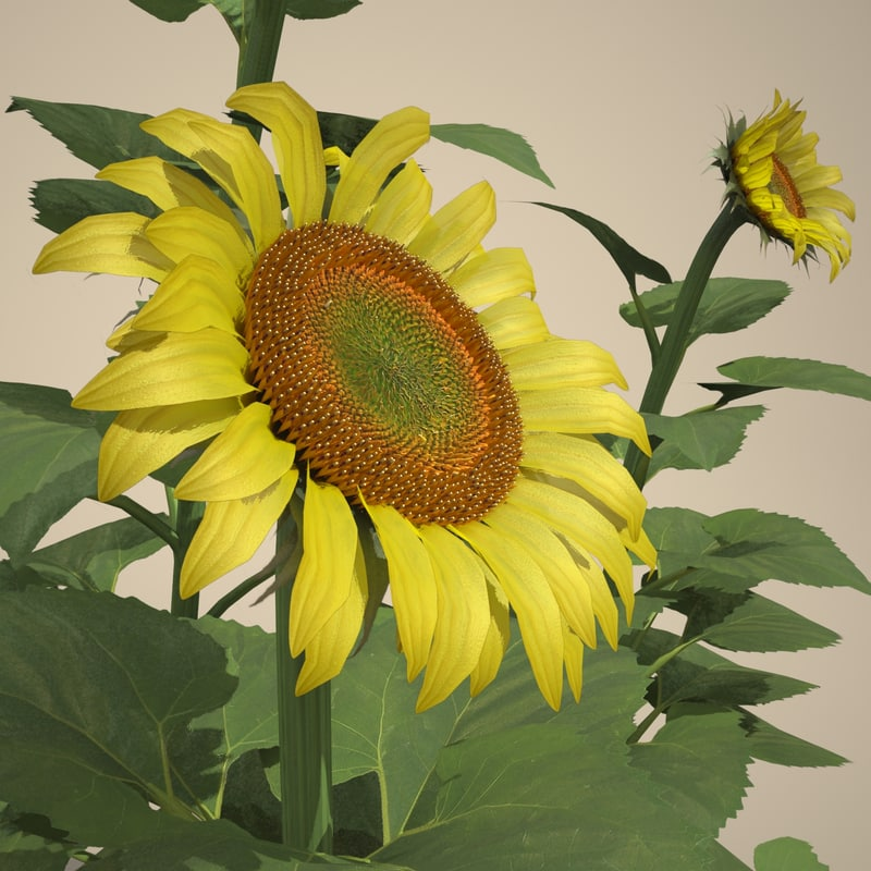 max helianthus common sunflower