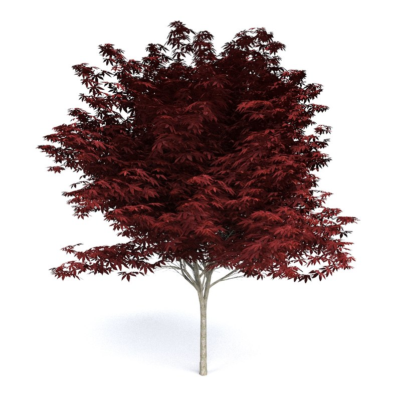 red japanese maple max