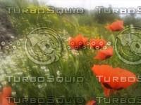 Poppy flowers scene