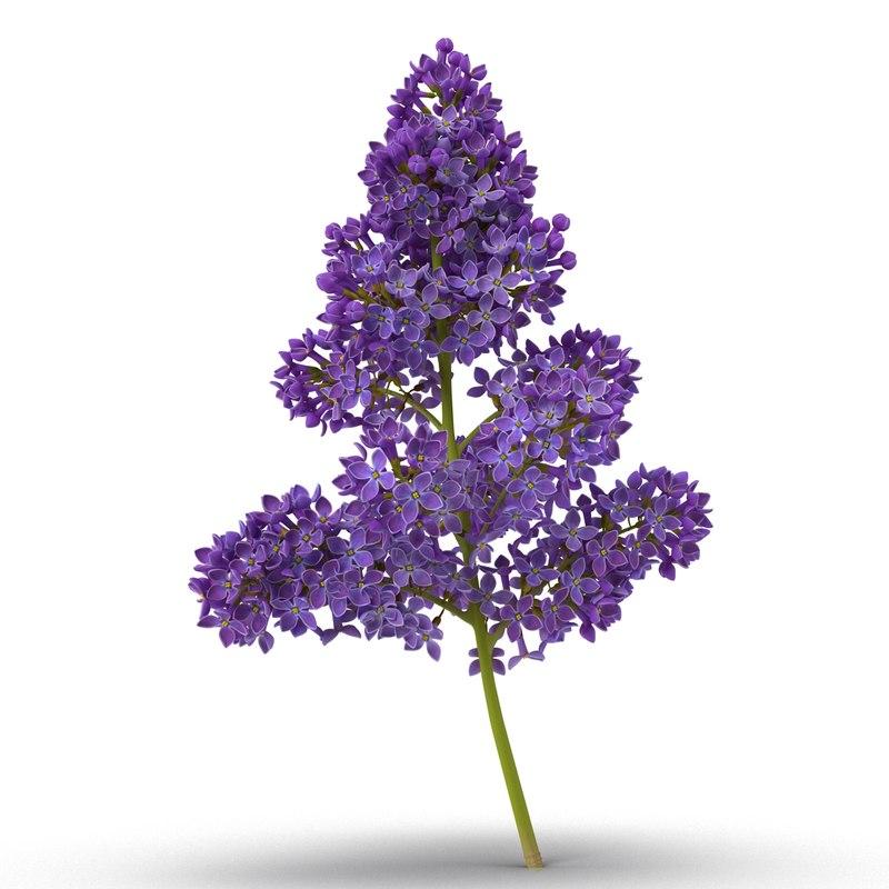syringa lilac 5 3d model