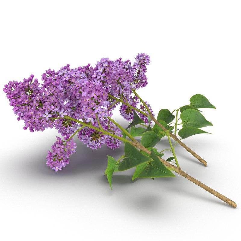 syringa lilac 4 3d model