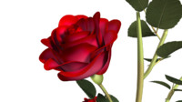 rose plants flowers 3d ma