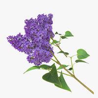 syringa lilac 3 3d max
