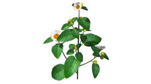 3d sida flowering