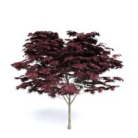 Dark Red Maple