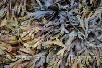 Seaweed_0004