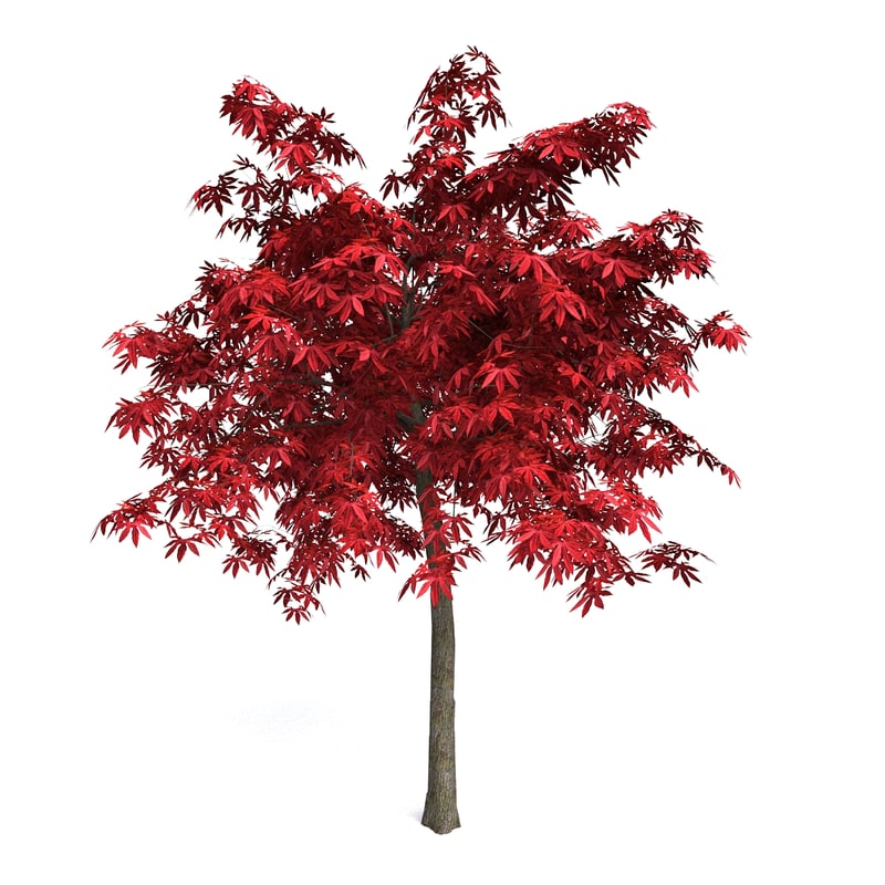 red japanese maple 3d max