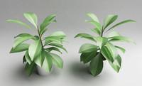 Foliage - Ficus Elastica