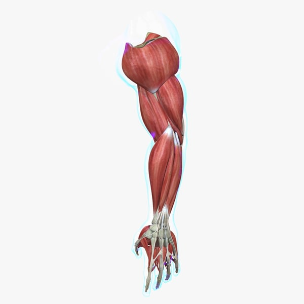 3d ma muscle arm medical edition